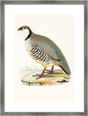 Greek Partridge Framed Print by English School