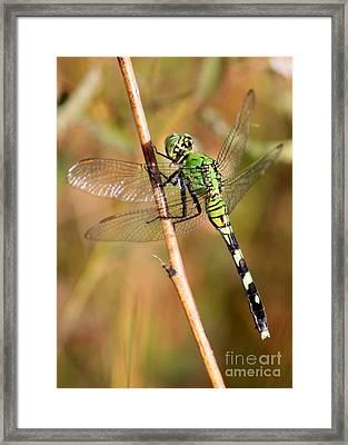 Green Dragonfly Closeup Framed Print by Carol Groenen