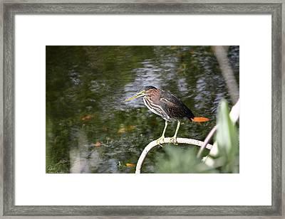 Green Heron Hunting Framed Print by Debra Larabee