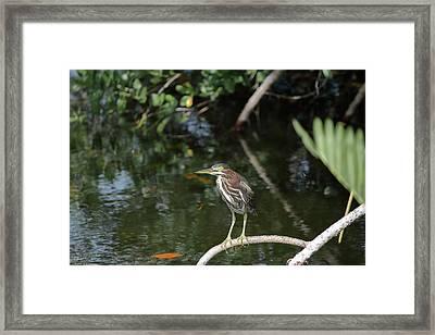 Green Heron Listening Framed Print by Debra Larabee
