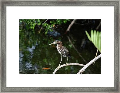 Green Heron Ready To Fish Framed Print by Debra Larabee