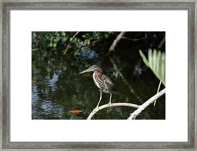 Green Heron Waiting Framed Print by Debra Larabee