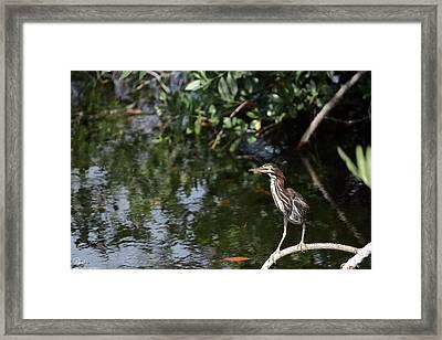 Green Heron Watching Framed Print by Debra Larabee