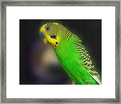 Green Parakeet Portrait Framed Print by Jai Johnson