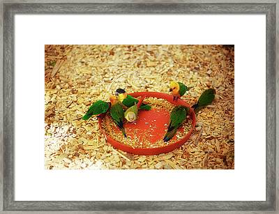 Green Parrot On Sawdust Eat Millet With Red Bowls Framed Print by Jozef Klopacka