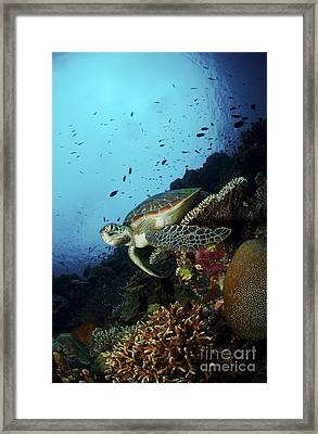 Green Sea Turtle Resting On A Plate Framed Print by Mathieu Meur