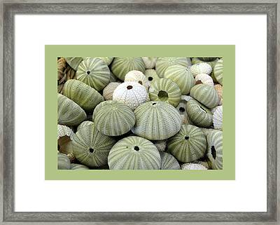 Green Sea Urchins Framed Print by Carla Parris