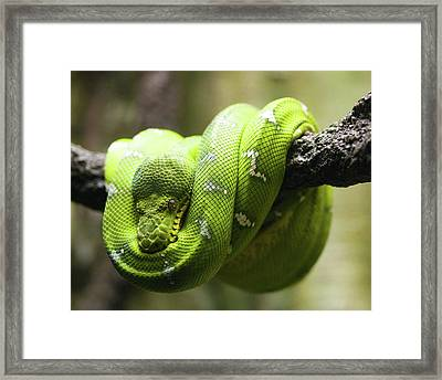 Green Tree Python Framed Print by Andy Wanderlust
