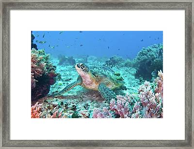 Green Turtle Framed Print by Wendy A. Capili