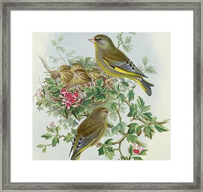 Greenfinch Framed Print by John Gould
