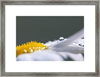 Grey And Yellow Daisy Framed Print by Lisa Knechtel
