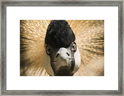 Grey Crowned Crane Framed Print by Chad Davis