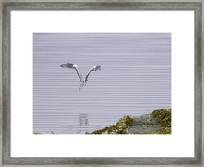 Grey Heron Flying Over A Loch On The Isle Of Mull Framed Print by Mr Bennett Kent