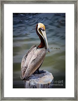 Grey Pelican Framed Print by Inge Johnsson