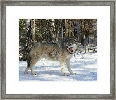 Grizzer Talking Trash Framed Print by Gerry Sibell