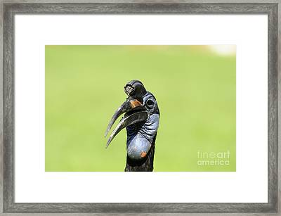 Ground Hornbill Framed Print by David & Micha Sheldon