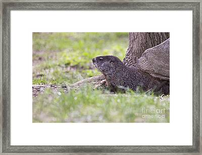 Groundhog Framed Print by Twenty Two North Photography