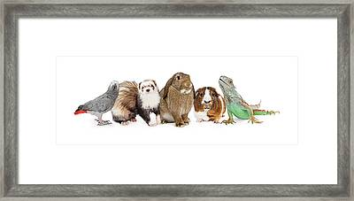Group Of Small Domestic Pets Over White Framed Print by Susan Schmitz
