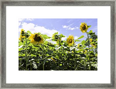 Group Of Sunflowers Framed Print by Fran Gallogly