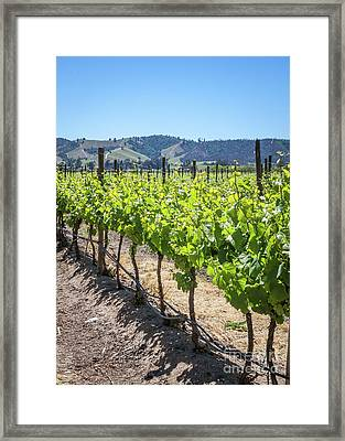 Growing Grapes, Winery In Casablanca Valley, Chile Framed Print by Anna Soelberg