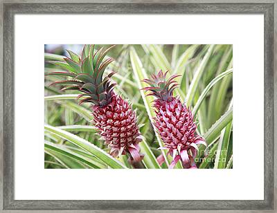 Growing Red Pineapples Framed Print by Brandon Tabiolo - Printscapes