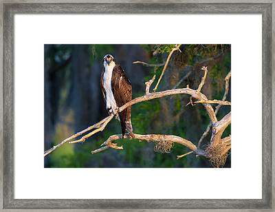 Grumpy Osprey Not Ready For Its Picture Framed Print by Andres Leon