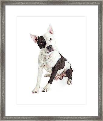 Guard Dog Pit Bull Over White Framed Print by Susan Schmitz