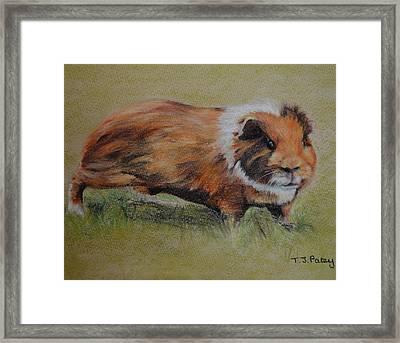 Guinea Pig Framed Print by Tanya Patey