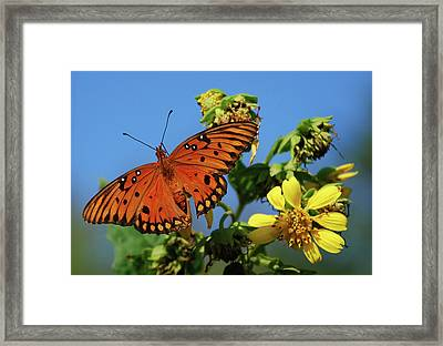 Gulf Fritillary Butterfly Framed Print by Skip Willits