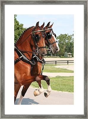Hackney Horse Pair Framed Print by Amanda Bassett