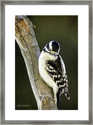 Hairy Woodpecker Framed Print by LeeAnn McLaneGoetz McLaneGoetzStudioLLCcom