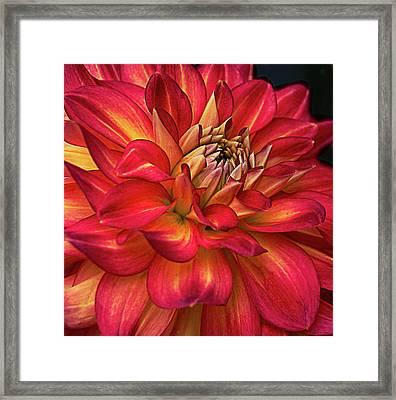 Half Pint Red Dahlia Framed Print by Julie Palencia