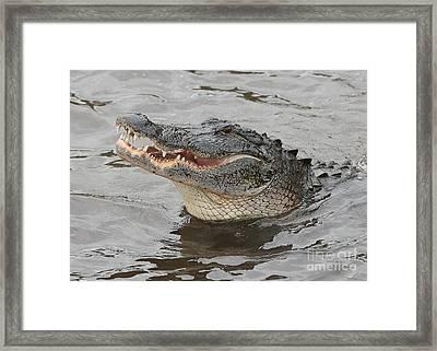 Happy Florida Gator Framed Print by Carol Groenen