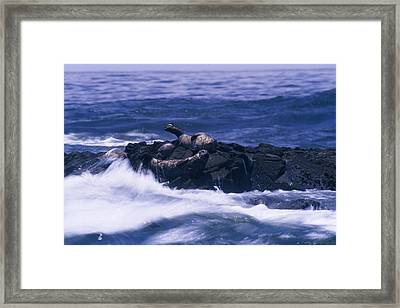 Harbor Seals Framed Print by Soli Deo Gloria Wilderness And Wildlife Photography