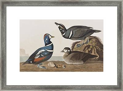 Harlequin Duck Framed Print by John James Audubon
