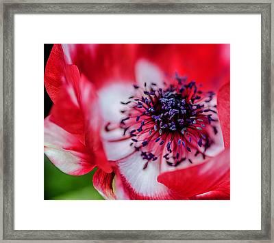 Harmony Scarlet Poppy Anemone Framed Print by Julie Palencia