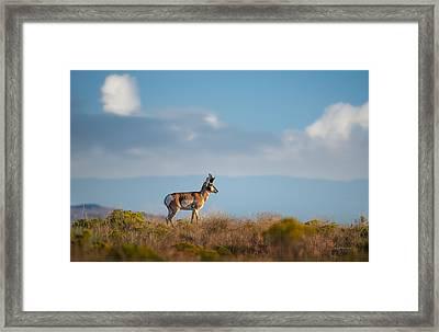 Hart Mountain Antelope Framed Print by Leland D Howard