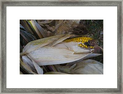 Harvest Time - Corn Framed Print by Bill Cannon