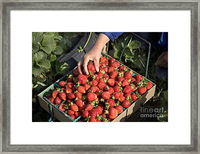 Harvesting Chandler Strawberries Framed Print by Inga Spence