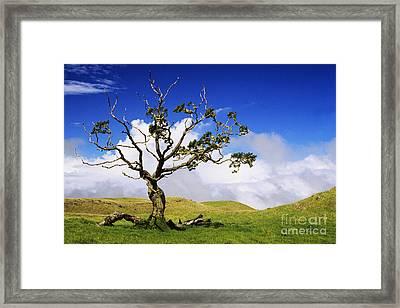 Hawaii Koa Tree Framed Print by Ali ONeal - Printscapes