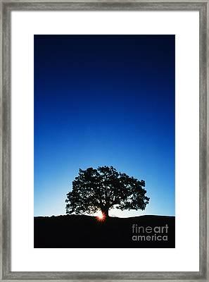 Hawaii Koa Tree Framed Print by Carl Shaneff - Printscapes