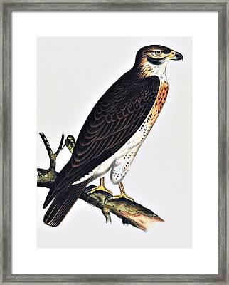 Hawk Swainsons Hawk Framed Print by Movie Poster Prints