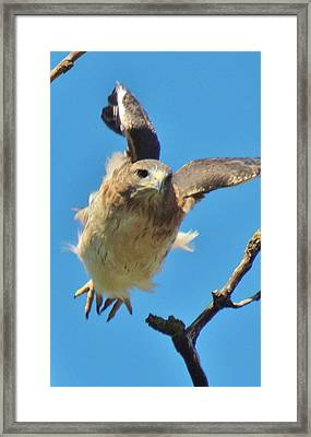 Hawkflight Framed Print by Todd Sherlock