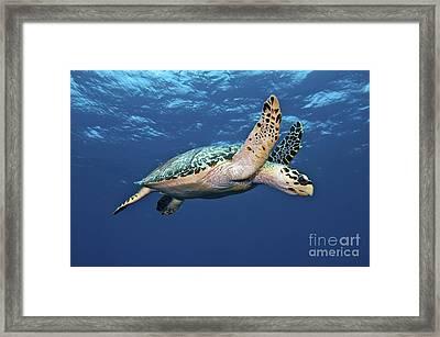 Hawksbill Sea Turtle In Mid-water Framed Print by Karen Doody