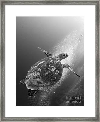 Hawksbill Turtle Ascending Framed Print by Steve Jones