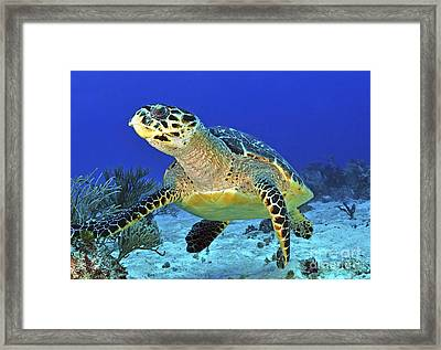 Hawskbill Turtle On Caribbean Reef Framed Print by Karen Doody