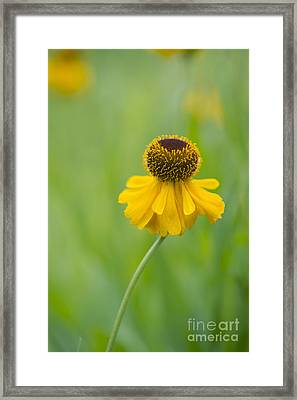 Helenium The Bishop Framed Print by Tim Gainey