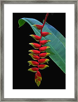 Heliconia Framed Print by Larry Linton