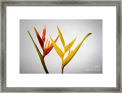 Heliconia Framed Print by Tomas del Amo - Printscapes