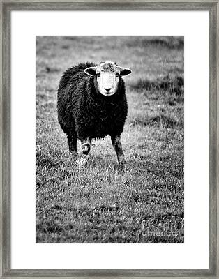 Herdwick Sheep Framed Print by Meirion Matthias